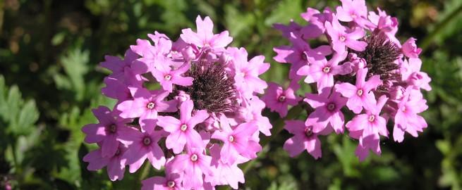 Native Plant Center flower photo